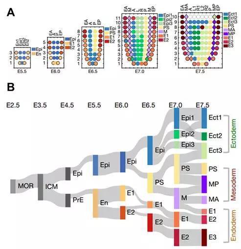 早期胚胎发育时期胚胎空间转录组的空间表达结构域及其相似性。 A, 小鼠着床后早期(E5.5)到原肠运动晚期(E7.5)不同时期的空间表达结构域;B,早期胚胎空间表达结构域的相似性。不同时期的颜色条代表基因表达结构域,MOR-桑椹胚,ICM-内细胞团,Epi-上胚层,PrE-原始内胚层,En-内胚层,E1-内胚层基因表达结构域1,Ect-外胚层,PS-原条,M-中胚层,MA-前端中胚层,MP-后端中胚层。计算结构域之间的相关性,连接线的粗细表示相对相关性大小。