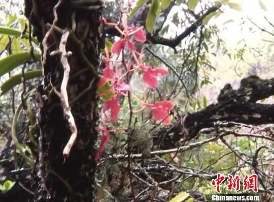 图为视频截图,中国濒危珍贵植物——火焰兰。 杨晓国 摄