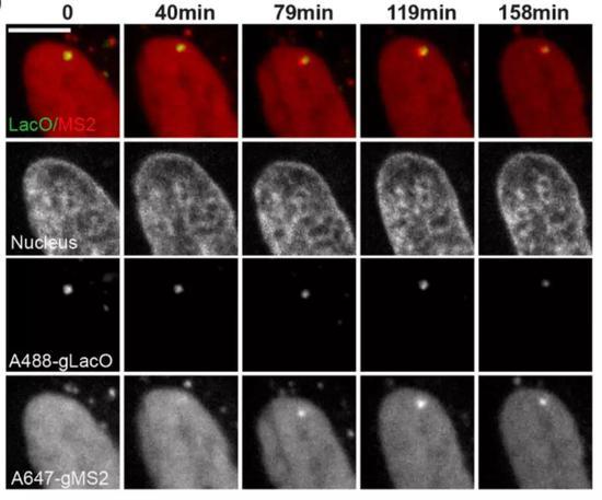 ▲在细胞内同时观察DNA(gLacO)和RNA转录(gMS2)的变化(图片来源:参考资料[1])