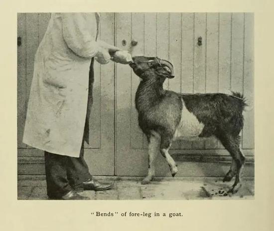 一只患减压病的山羊,可以看出其左腿已无法弯曲伸直