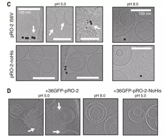 ▲酸性条件下,人工设计的蛋白可以结合并破坏脂质体的膜结构(图片来源:参考资料[1])