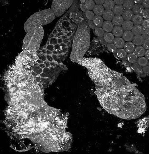 雌性按蚊的唾液腺图片来源:约翰斯·霍普金斯大学