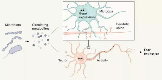 ▲肠道菌群影响大脑的小胶质细胞功能和神经元突触功能的图示(图片来源:参考资料[2])