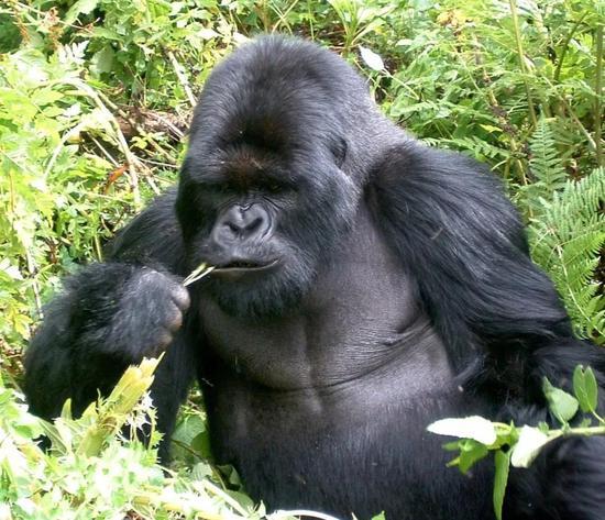 采用大猩猩的饮食方式,会让我们陷入饥饿之中。