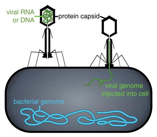 噬菌体将自己的基因组注入到细菌体内。图片来源:Wikipedia