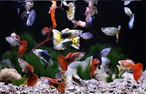 孔雀鱼(图片来源于网络)
