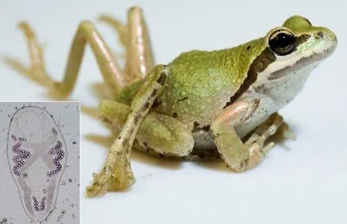 因感染了吸虫而展现了畸形的青蛙