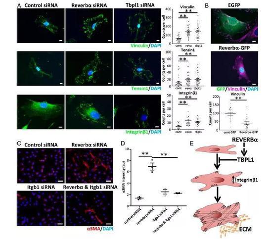 REVERBα和TBPL1通过改变integrinβ1的表达来影响肌成纤维细胞的分化