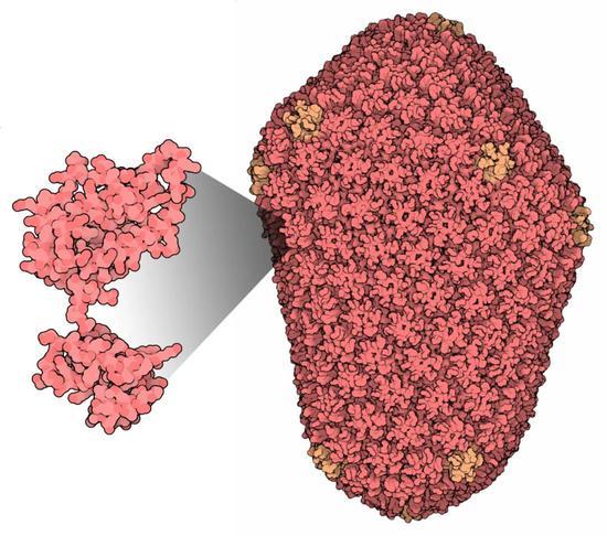 由衣�さ鞍捉M成的HIV衣�ぃ�D片�碓矗�PDB101.rcsb.org)