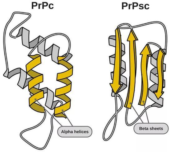 "左边是""好""蛋白,右边是导致疾病的""坏""蛋白(图片来源:https://www.scienceabc.com/pure-sciences/what-are-prions.html)"