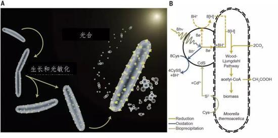 热醋穆尔氏菌-硫化镉的反应原理 (图片来源:Kelsey K。 Sakimoto et al。, 2016, Science)
