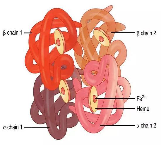 血红蛋白的结构,核心区域含有铁离子。图片来源:Difference Between