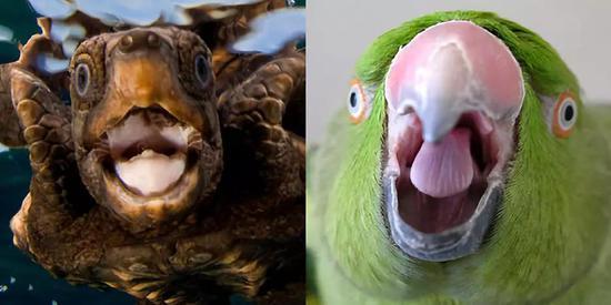 """龟和鸟都有角质喙,显露""""无齿""""的笑脸。左图来源: sailorsforthesea.org。右图来源: littlethings.com"""