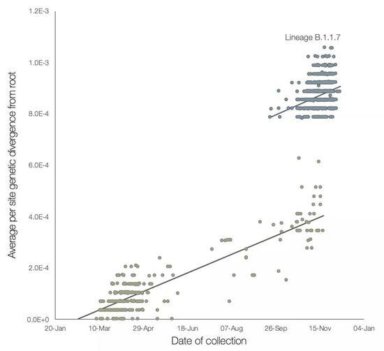 B.1.1.7谱系(蓝色)及系统发育树中的外群谱系(棕色)序列遗传距离对采样日期的回归分析