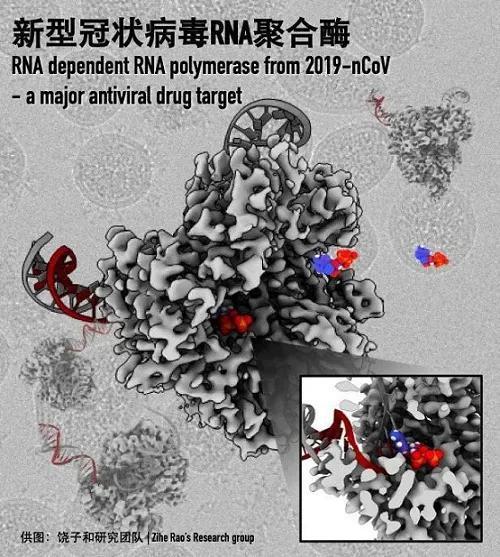 新型冠状病毒RdRp-nsp7-nsp8聚合酶复合物2.9Å分辨率电子显微结构