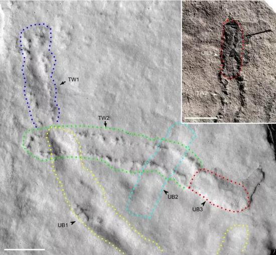 此次发现的遗迹化石由两组足迹和三条潜穴组成,其中一组足迹(TW2)穿过两条潜穴(UB1和UB2),并与潜穴(UB3)相连。TW2与UB1空间上相连