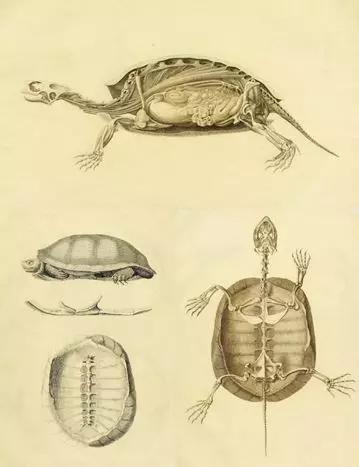 龟的剖解。图片来源:publicdomainreview.org