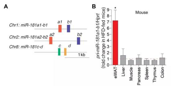 ▲miR-181家族有3个基因簇,包括6个成。熟miRNA。高脂肪饮食条件下,它们在。白色脂肪布局中外达增补,在。其他布局中则异国转折(图片来源:参考原料[1])