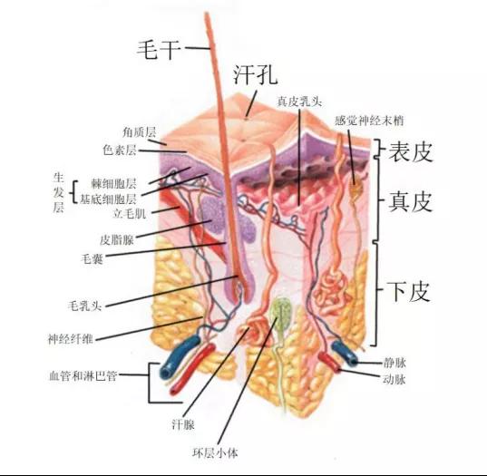 皮肤的结构