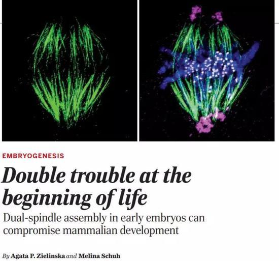 颠覆教科书!科学家首次看清受精卵分裂第一步