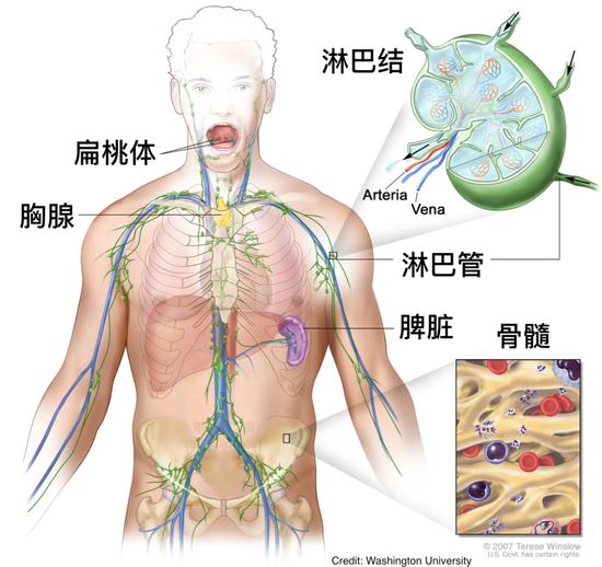 淋巴系统示意图