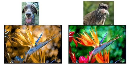哺乳动物双色视觉和三色视觉的模拟图(来源于网络)