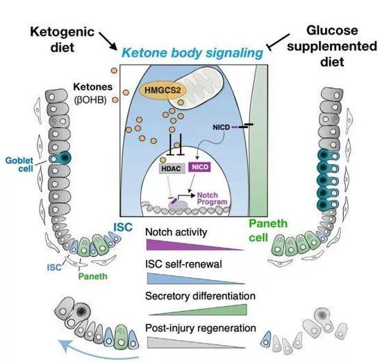 ▲不同饮食通过酮体代谢调节肠道干细胞的示意图(图片来源:参考资料[1])