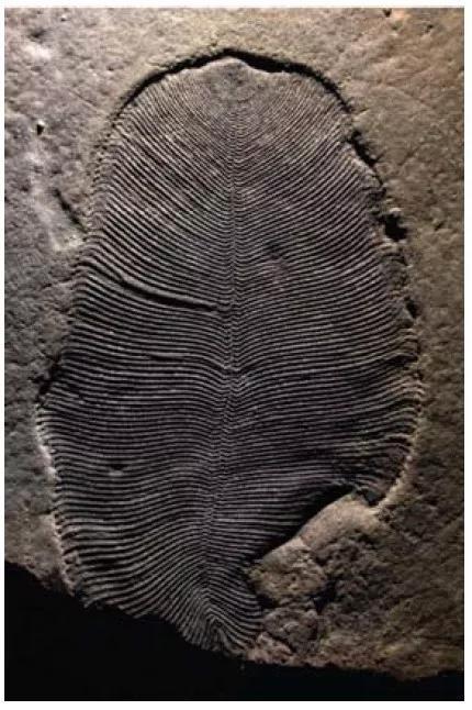 """这片""""芭蕉叶""""就是狄更逊水母的化石,内含有机分子,宽度约5.5cm。 图片来源:参考文献[1]"""