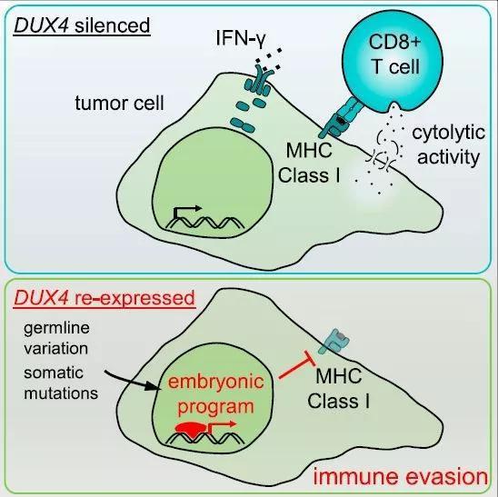 ▲DUX4与依赖MHC-1的抗原呈递的关系示意图(图片来源:参考资料[1])