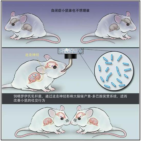 饲喂罗伊氏乳杆菌改善了自闭小鼠的社交行为。图片来源:参考文献[1]