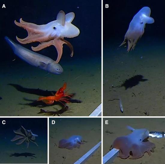 游动和栖息于海底的面蛸。面蛸经常在这两种状态间交替。图片来源:SpringerLink