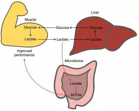 肠道菌群与运动相互作用模型(图片来源:参考资料1)