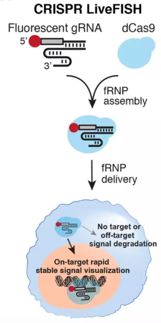 ▲在活细胞中进行基因组成像和细胞遗传学检测的LiveFISH示意图(图片来源:参考资料[1])