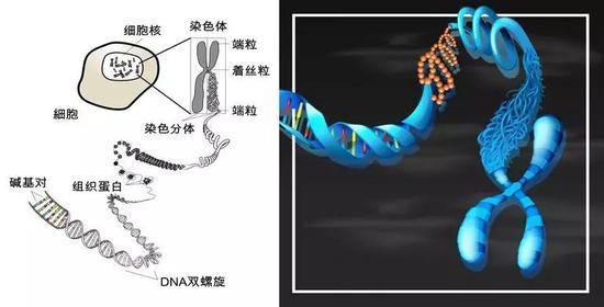 染色体、DNA及位于其上的碱基对(图片来源:Freepik.com)