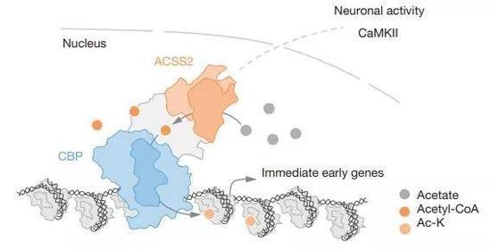 ▲细胞核内,ACSS2促进组蛋白乙酰化,调控基因表达(图片来源:参考资料[3])