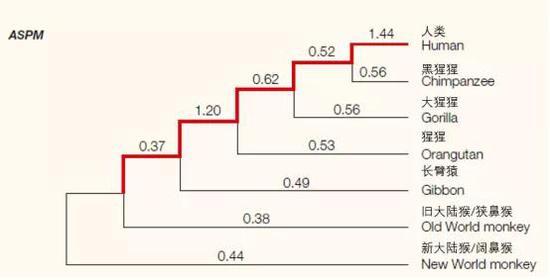 ASPM基因的系统发育树,数字是系统发育树各分支的非同义替代率与同义替代率的比值Ka/Ks。因为非同义的变化会改变蛋白质产品的生化特性,所以它们通常会受到选择的影响。高(或低)Ka/Ks比值意味着该基因编码的蛋白质进化迅速(或缓慢)。当比值大于1时,表示非同义替换率比选择性中立下的预期要快,可能是由于阳性选择的存在。通向人类的灵长类谱系用红色表示,我们可以看到该比值在最后一步选择中高达1.44。引自:doi:10.1038/nrg1634