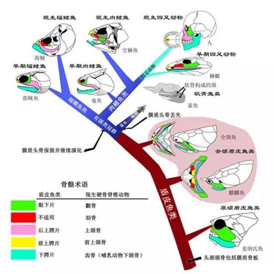 图5. 脊椎动物膜质颌骨的演化之路(Brian Choo绘)