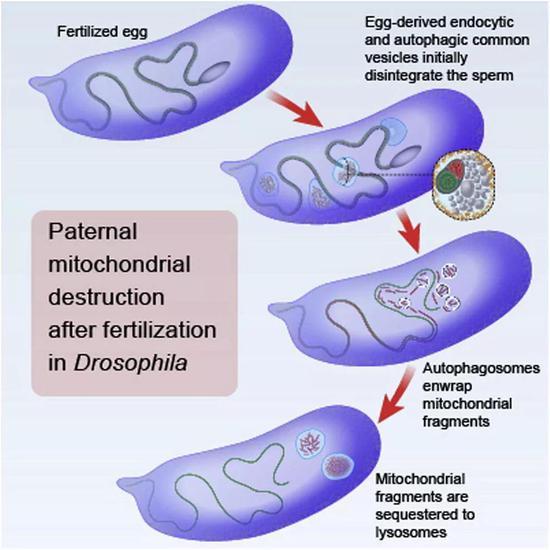 卵细胞受精后,损坏精子中的线粒体
