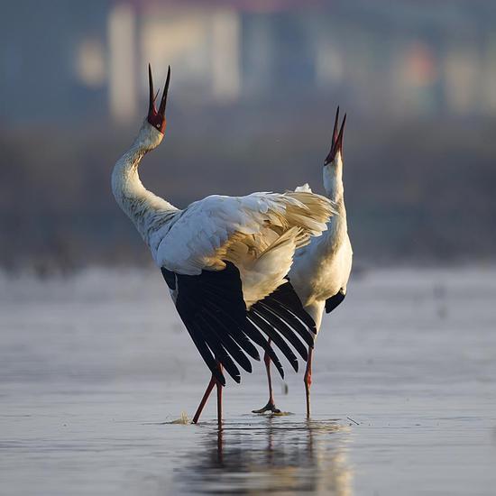 《新年晨弯——白鹤》 楠溪江 作品