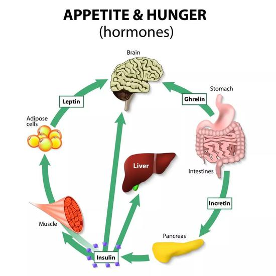 瘦素主要作用于大腦