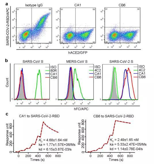 ▲研究人员们找到了两款能特异识别新冠病毒RBD,并阻碍新冠病毒与ACE2受体结合的单克隆抗体(图片来源:参考资料[1])