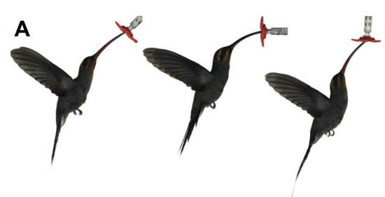 蜂鸟通过调整姿态,轻松应对不同角度开放的花朵