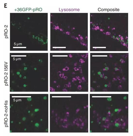 """▲进入溶酶体但不被降解,彰显了这些蛋白""""变形""""带来的效果(图片来源:参考资料[1])"""