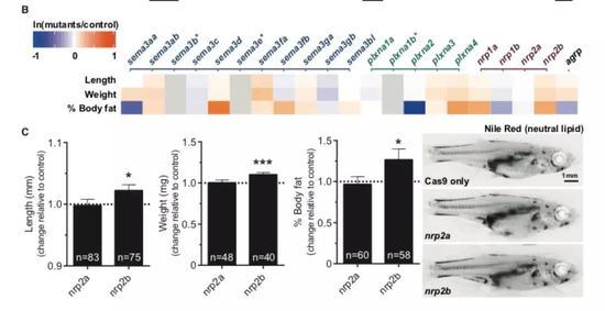 ▲敲除Sema3信号通路中的基因改变斑马鱼的体重和体脂比(图片来源:参考资料[1])