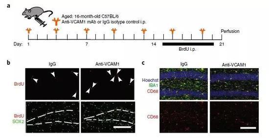▲年老小鼠注射抗体阻断VCAM1后,大脑海马区的新生神经元增多了(图片来源:参考资料[1])