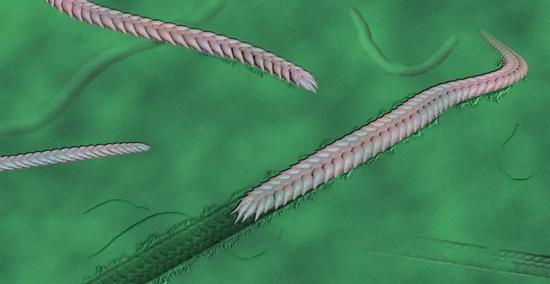 大家来猜猜这个虫子有没有头?(图片来源:南京古生物所)