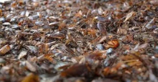 """济南一区养3亿只蟑螂 每日""""吃掉""""15吨餐厨垃圾"""
