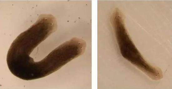 科学家在实验室创造出的双头涡虫
