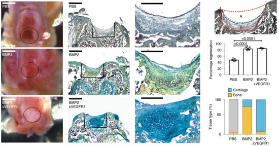 在成年小鼠身上,用BMP2和VEGF抑制剂共同诱导骨骼干细胞,产生了新的软骨