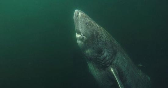 因长寿而走红的格陵兰睡鲨(图片来源/Julius Nielsen)